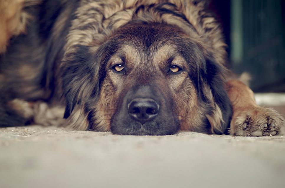 Primer plano, color. Perro acostado con aspecto muy aburrido.