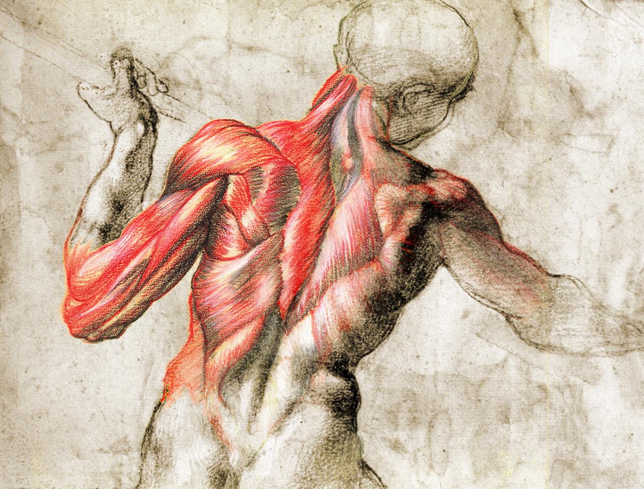 Dibujo clásico de la musculatura de la espalda.